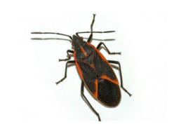 Colorado Pest Pros - Boxelder Bug Control