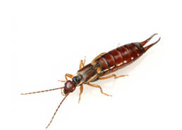 Colorado Pest Pros - Earwings Extermination - 1