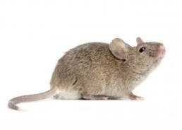 Colorado Pest Pros - Mice Removal