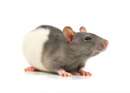 Colorado Pest Pros - Rat Removal