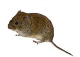 Colorado Pest Pros - Vole Extermination