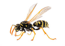Colorado Pest Pros - Wasp Extermination