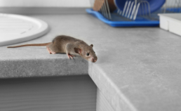 Colorado Pest Pros - How to keep mice out of kitchen